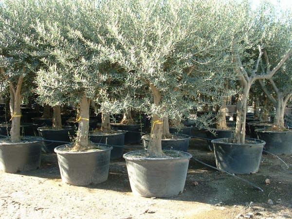 Hoe oud kan een olijfboom worden